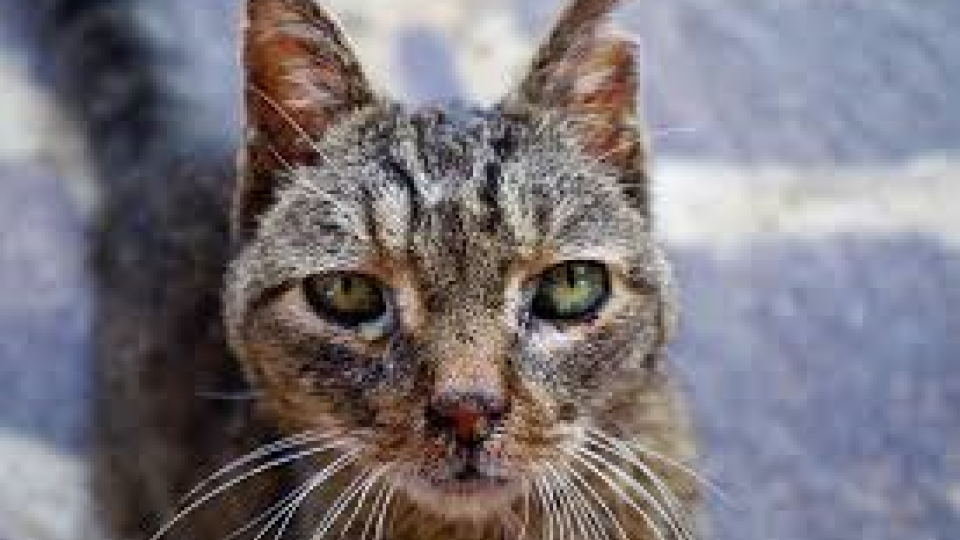 Photo closeup of cat with wounded ear.